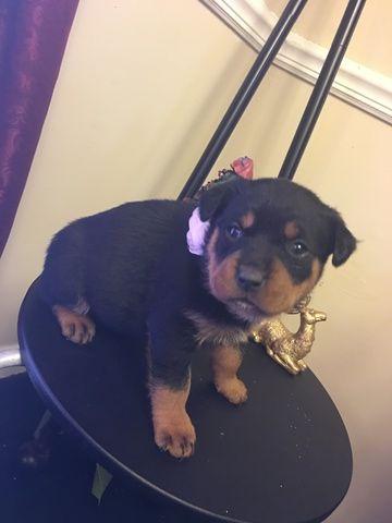 Litter Of 5 Rottweiler Puppies For Sale In Hephzibah Ga Adn