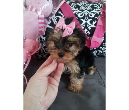 Akc Registered Tiny Yorkie Babies Is A Yorkshire Terrier Puppy For Sale In Houston Tx Yorkie Yorkshire Terrier For Sale Yorkie Puppy Yorkshire Terrier Puppies