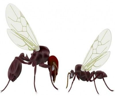 How to Get Rid Of Flying Ants