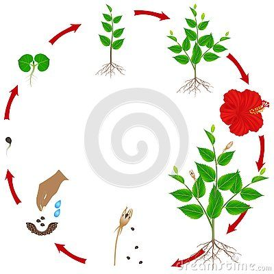 Life Cycle Of Hibiscus Plant On A White Background Beautiful Illustration In 2020 Apple Tree Life Cycle Hibiscus Plant Tree Life Cycle