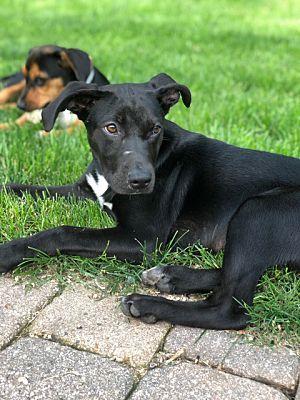 Hainesville Il Labrador Retriever Meet Cola A Pet For Adoption Pet Adoption Dog Pounds Labrador Retriever