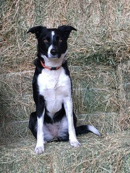 Garcin Mcnab Collies Mcnab Collie Breeder In California Also