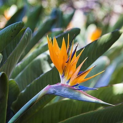 Strelitzia Plant Bird Of Paradise 1 Plant Amazon Co Uk Garden Outdoors Strelitzia Plant Plants Lily Plants