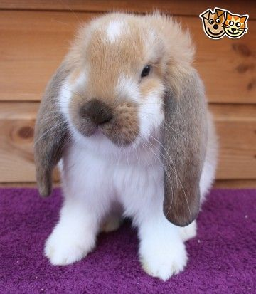 Beautiful Baby French Lops For Sale Spennymoor County Durham Pets4homes French Lop French Lop Rabbit Rabbits For Sale