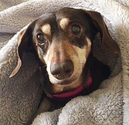 Dachshund Rescue Of Houston Donate To Help Save Dachshund Lives