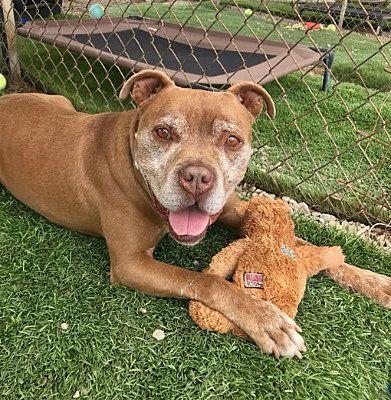 Ventura Ca American Staffordshire Terrier Meet Cowboy A Pet