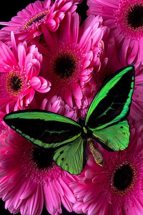 Green Photograph - Green Butterfly On Pink Daisy by Garry Gay
