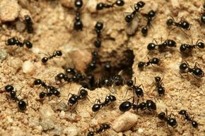 Como Acabar Con Las Pulgas En El Jardin Como Eliminar Las Hormigas Del Jardin 8 Pasos Plaga De