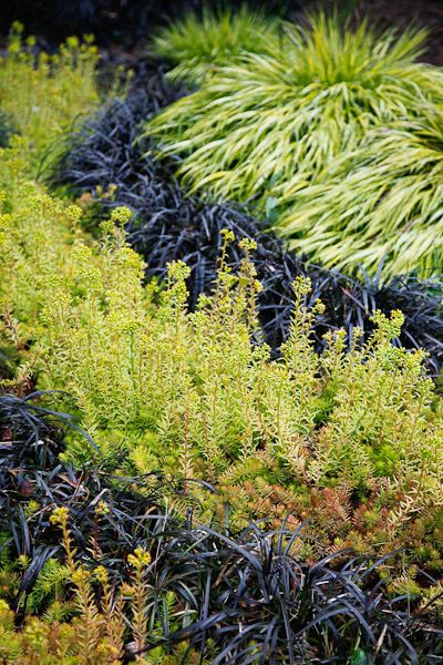 Alternating ribbons of Hakone grass, black mondo grass and Angelina Sedum