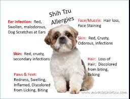 Dog Dry Shampoo Shih Tzu Google Search Shih Tzu Grooming Baby