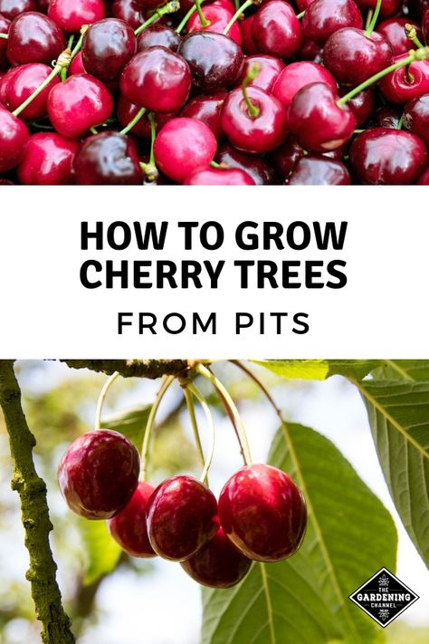 To Grow Cherry Trees From Pits Don't miss these gardening tips on growing cherry trees from pits. Learn how to save and start pits to grow your own cherry trees.Don't miss these gardening tips on growing cherry trees from pits. Learn how to save and start Cherry Tree From Seed, Growing Cherry Trees, Growing Tree, Fruit Plants, Fruit Garden, Garden Trees, Terrace Garden, Trees To Plant, Organic Gardening