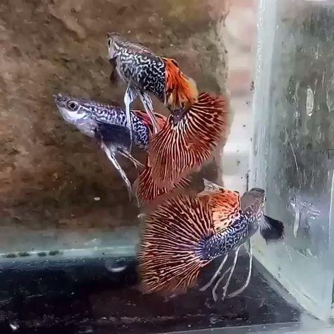 Best Tank Mates for Guppies  (Buying Guide) #thepetsupplyguy #pet #pets #animal #fish #aquarium #fishtank #goldfish #guppy #tetra #betta Video Credit: Dragon Guppies @guppypemula.new on IG