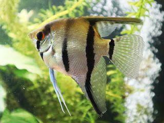 Silver Angelfish Di 2020 Ikan Warna Hiasan