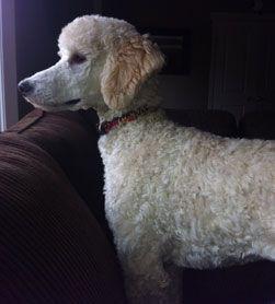 Khalsa Permanent Registered Kennels Ckc Standard Poodle