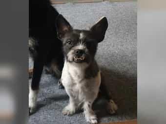 The Most Common Colors Are Gold Black White Tan And Cream Ebay Kleinanzeigen Kostenlos Franzoesische Bulldogge Mix In 2020 French Bulldog Mix Bulldog French Bulldog