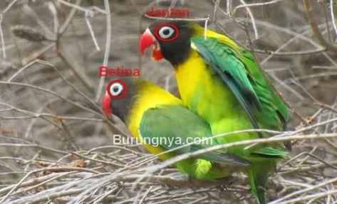 50 Gambar Lovebird Terbaik Di 2020 Burung Burung Cantik Kandang Burung