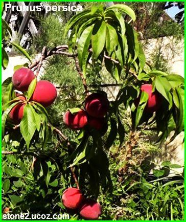 الدراق او الخوخ الفارسي Prunus Persica قسم الفواكه النبات معلومات نباتية وسمكية معلوماتية Prunus Plum Persica