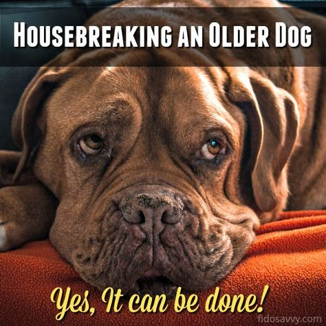 Housebreaking An Older Dog A Practical Guide Dog Training