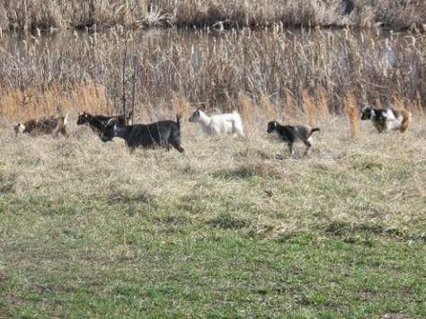 La cría de cabras enanas nigerianas: Perfecto para una Granja Pequeño / radikewl