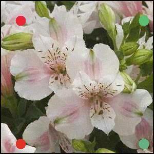 Alstroemeria Natalie Pp17 801 Little Miss Natalie Peruvian Lily In 2020 Peruvian Lilies Alstroemeria Shade Plants