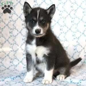 Litter Of 6 Siberian Husky Puppies For Sale In Riverside Ri Adn