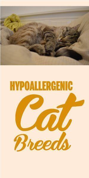 10 Hypoallergenic Cat Breeds Cat Breeds Hypoallergenic Hypoallergenic Cats Cat Breeds