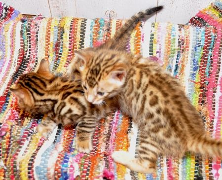 Bengal Kittens For Sale San Diego Ca Bengal Kitten Kittens Bengal Kittens For Sale