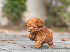 Tiny Teacup Poodle for sale - Micro Puppies Poodles for Sale