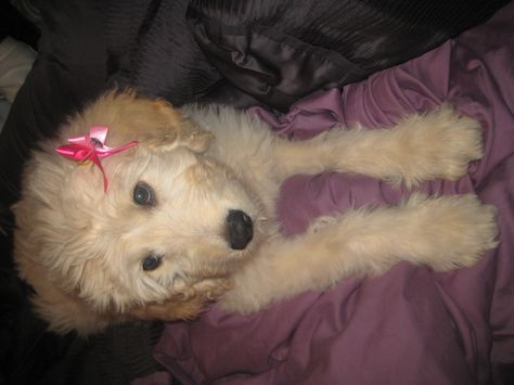 I M So Going To Put A Bow In My Baby Girl Sophie S Hair 3 Goldendoodle Cute Dogs Dog Lovers