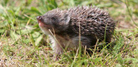 20minuten News Von Jetzt In Webapp Format Tiere Igel Jungtiere