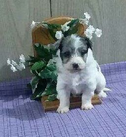 Buttercup Sheep Dog Puppy Puppy Adoption Puppies For Sale