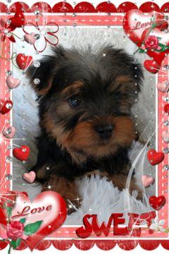 Yorkshire Terrier Puppy For Sale In Douglas Ga Usa Adn 119250 On Puppyfinder Com Gender Puppies For Sale Havanese Puppies For Sale Yorkshire Terrier Puppies