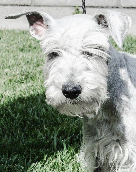 Adopt Rory On Schnauzer Dogs Dogs Miniature Schnauzer Rescue