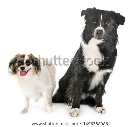 Stock Photo Australian Shepherd And Palene Dog In Front Of White Background Pet Dogs Dogs Australian Shepherd