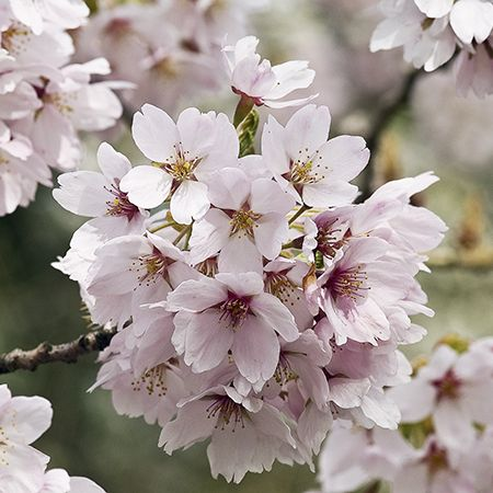 5ft Yoshino Weeping Cherry Blossom Tree 9l Pot Prunus Yedoensis Ivensii 47 99 Cherry Blossom Tree Blossom Trees Potted Trees