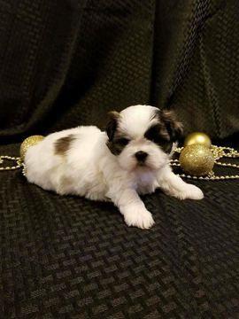 Litter Of 2 Shih Tzu Puppies For Sale In Salisbury Nc Adn 60897