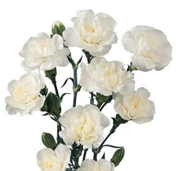 White Mini Carnation Flower In Wholesale Bulk Wholesale Flowers Jr Roses In 2020 Mini Carnations Carnation Flower Carnation Colors