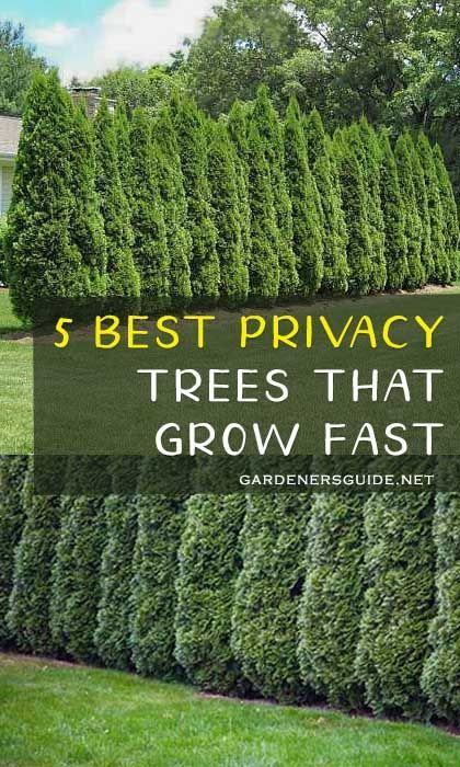 5 Best Privacy Trees That Grow Fast #privacytrees #privacy #tree #fastgrowing #gardening #privacyplants #gardenersguide