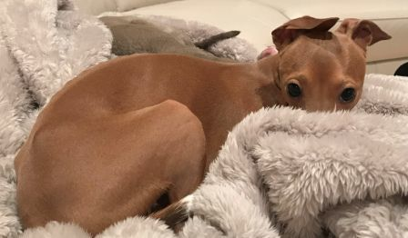 Adopt Busta On With Images Italian Greyhound Italian Greyhound Dog Grey Hound Dog