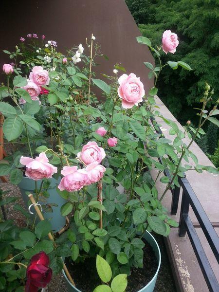 Englische Rose The Alnwick Rose Beste Sorten Rosen Wissen In 2020 Englische Rosen Rosensorten Rosen