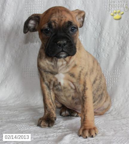 Alexia Boxer Bulldog Puppy For Sale In Strasburg Pa Boxer
