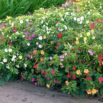 Four O'Clock Seed Mix, Mirabilis jalapa - Wildflower Seed from American Meadows