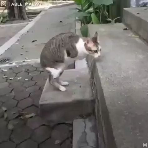 CAT GETS BY WITHOUT FRONT LEGS  - Tiere / pet / animal - #animal #cat #FRONT #LEGS #pet #tiere