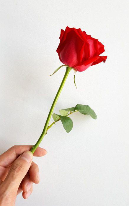 フリー写真 手に持つ一輪の薔薇 季節の生花種類 花 イラスト 薔薇イラスト