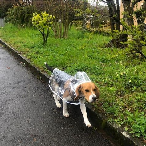 It was the hard week for you and your Beagle as well You should rest! Cute Beagles, Cute Puppies, Cute Dogs, Dressage, American Foxhound, Pregnant Dog, Hiking Dogs, Adoptable Beagle, Teacup Puppies