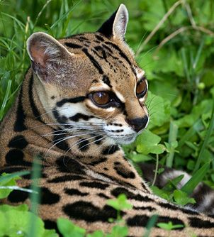 Margays are one of the most adept at tree climbing of the feline species, and can even descend down tree trunks head first.