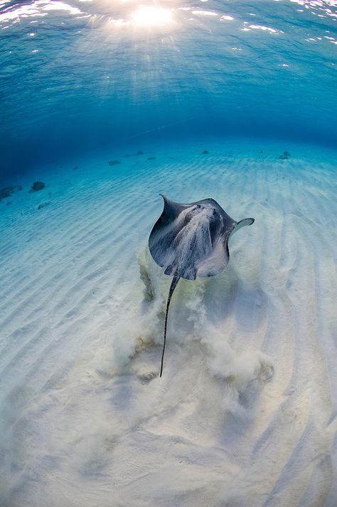 Stingray-Cayman-Sandbar 502 by Ocean Frontiers Diving Adventures on… Amazing Animals, Animals Beautiful, Underwater Life, Underwater Photos, Ocean Creatures, Grand Cayman, Sea And Ocean, Underwater Photography, Nature Photography