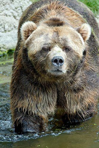 Kodiak Bear | Mit freundlicher Genehmigung von Hagenbeck. | Sebastian Bergmann | Flickr