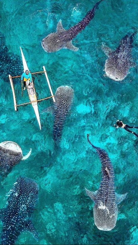 Whale Sharks - Oslob, Cebu Island, Phillipines - 9GAG