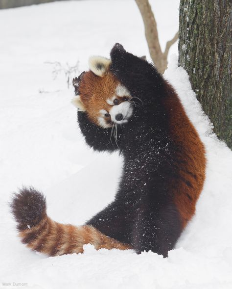 panda dance (by Mark Dumont) Super Cute Animals, Cute Little Animals, Cute Funny Animals, Red Panda Cute, Cute Kittens, Cute Animal Pictures, My Spirit Animal, Cute Creatures, Pet Birds
